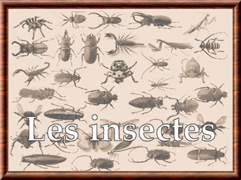 Insectes (Insecta)